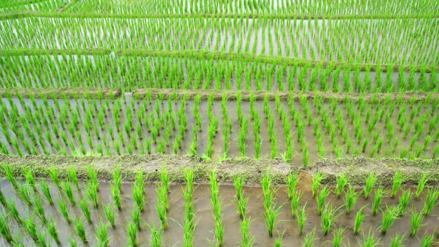 Rice seedlings layer view in the field with water from nature ,at Ban Pa Bong Piang Hill tribe village, Chiangmai, Thailand : top view. PR