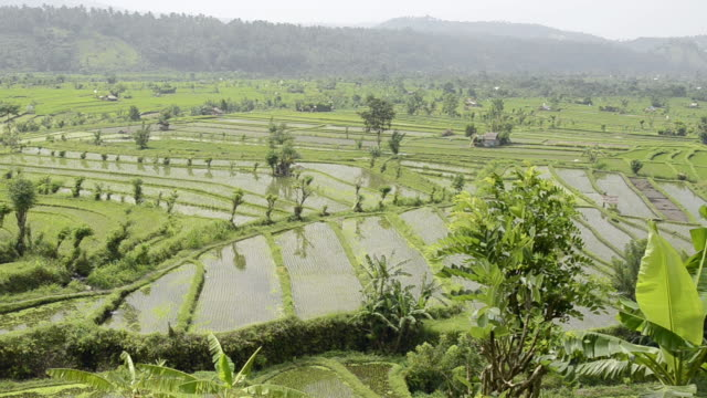 WS Rice terraces and young rice plants in paddy field / Tegallalang, Bali, Indonesia