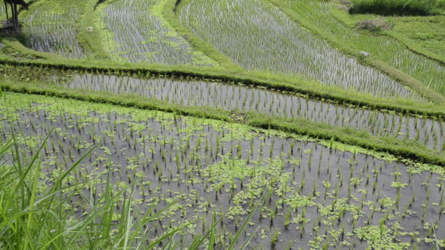 MS TU Rice terraces and young rice plants in paddy field / Tegallalang, Bali, Indonesia