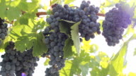 rich harvest of grapes