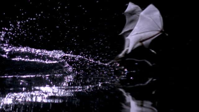 Rickett's mouse eared bat (Myotis pilosus) hunts fish in pool at night, China
