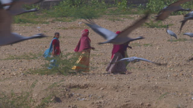 PAN right with group of 5 women walking to right with Demoiselle cranes flying through foreground