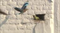 Ring necked parakeet scares Indian Roller away from hole in wall, Bateshwar Available in HD.