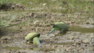Ring necked parakeets drink from pool then take off, Chilla sanctuary, India Available in HD.