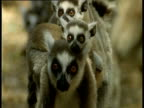 Ring Tailed Lemur walks to camera with twins on back