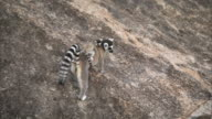Ring tailed lemur (Lemur catta) with baby scrambles across rock face, Madagascar