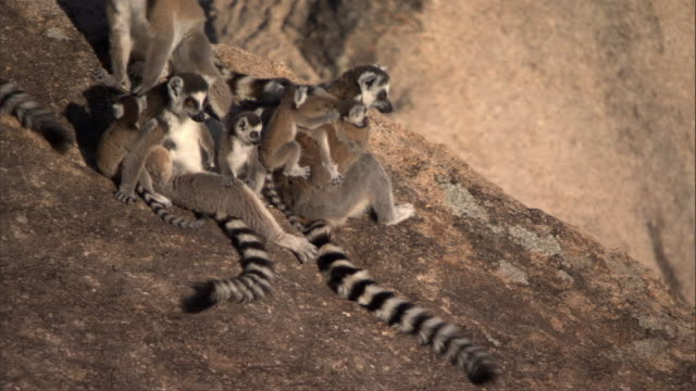 Ring tailed lemurs (Lemur catta) groom on rock face, Madagascar