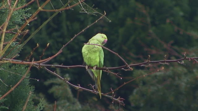 Ring-necked Parakeet (Psitacula krameri)