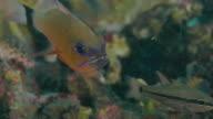 Ring-tailed Cardinalfish hiding in coral, Bali, Indonesia (4K)