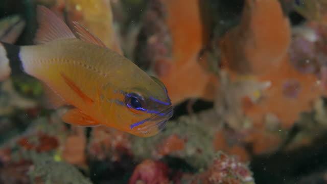 Ring-tailed Cardinalfish swimmimg undersea, Indonesia (4K)