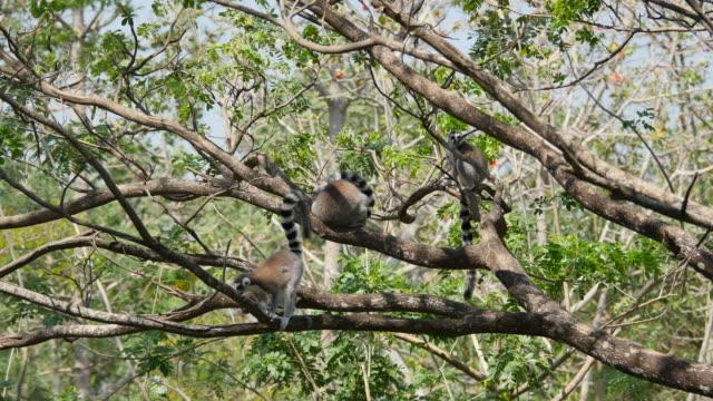 Ring-tailed lemurer gruppen på ett träd.
