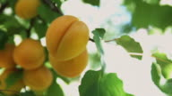 CU Ripe apricots on tree ready for picking / Central Otago, New Zealand