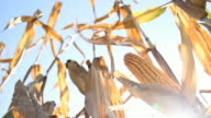 HD DOLLY: Ripe Corn Against Sunlight