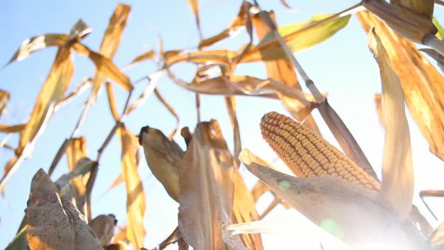 HD DOLLY: Reife Corn gegen Sonnenlicht