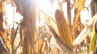 HD DOLLY: Reife Corns die gerösteten Maiskolben