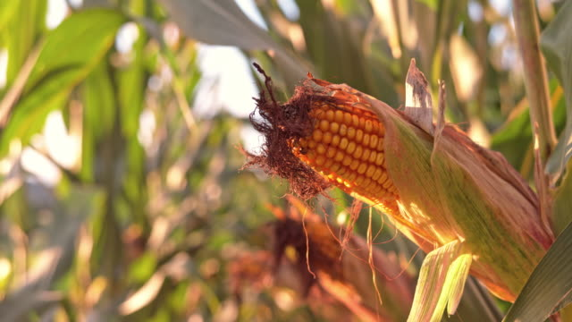 SLO MO DS Ripe ears of corn in field at sunset