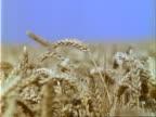 MCU ripe golden wheat swaying in breeze, July