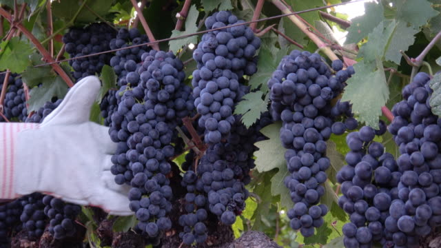 Ripe Grape Clusters on the Vine with Farm Worker Hand