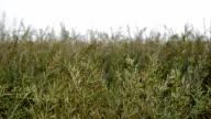 Ripe Mustard Field