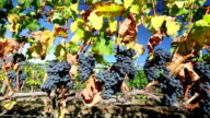 Ripe Organic Merlot Grapes Okanagan Valley