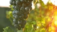 SLO MO Ripe red grape at sunset