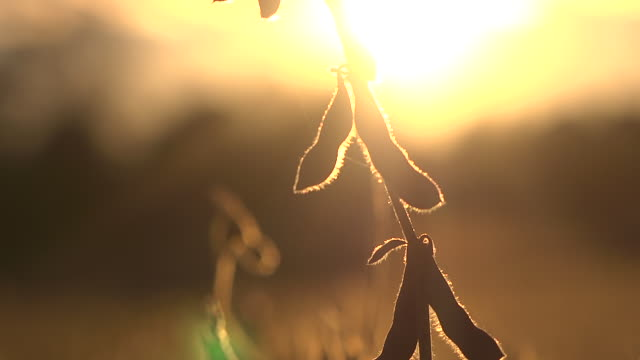 CU TU Ripe soybeans in a field  grown from gentically modified seed at sunset / Chelsea, Michigan, United States