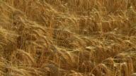 HD CRANE: Ripe Wheat