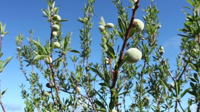 Ripening Almonds on Tree.