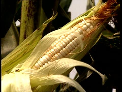 CU Ripening corn cob on stalk