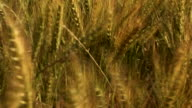 Ripening wheat sways and bends.