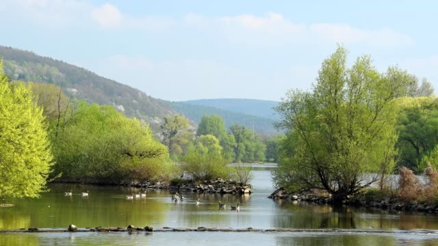 River main with Grey goose, Anser anser in spring, Sulzbach, Bavaria, Germany