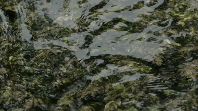 river seaweed