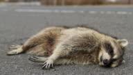 Road Kill Raccoon