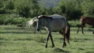 WS TS PAN Roaming and grazing herd of horses / Kerkini, Serres, Greece