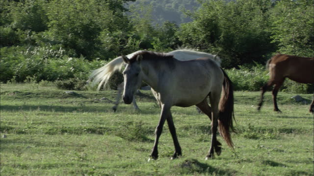 WS TS PAN Roaming and grazing herd of horses / Kerkini, Serres, Greece