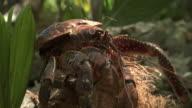 Robber crab (Birgus latro) feeds on coconuts in forest, Pentecost, Vanuatu