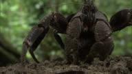 Robber crab (Birgus latro) in forest, Pentecost, Vanuatu