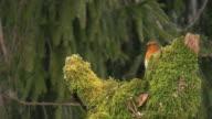 Robin in Early Morning (HD)