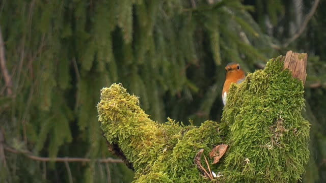 Robin in Early Morning (HD)