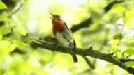 Robin singen