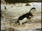 MS Rockhopper penguins, Eudyptes chrysocome, struggling uphill of ice, Antarctica