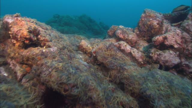 Rocky sea floor covered in brittle stars (Ophiurida), California, USA