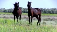 Romania, the horses in Danube Delta