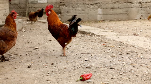rooster and chickens in the yard