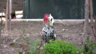 Rooster crowing. HD 1080i