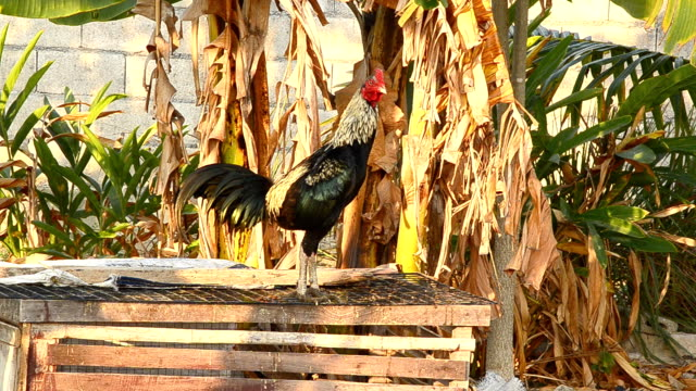 rooster crows