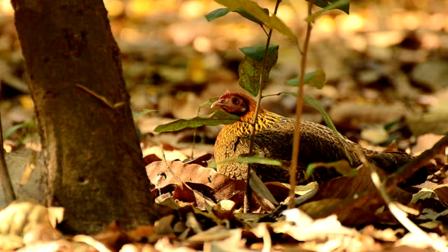 rooster in Forest