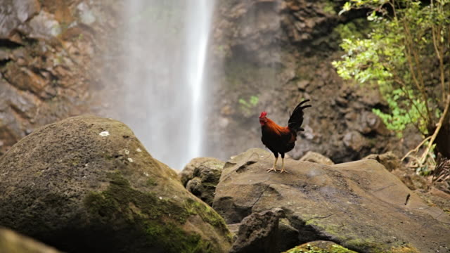 MS Rooster on rock with waterfall / Wailua, Kauai, Hawaii, United States