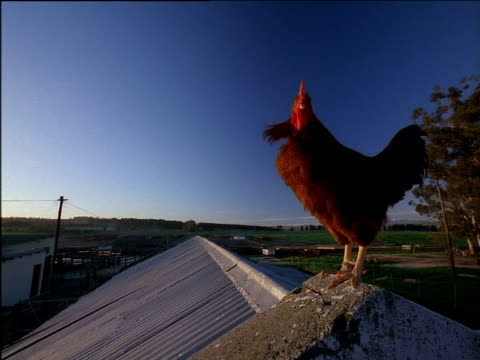 Rooster on roof of barn