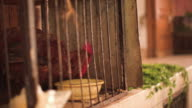 A rooster sitting in a cage in the souks of Marrakech.